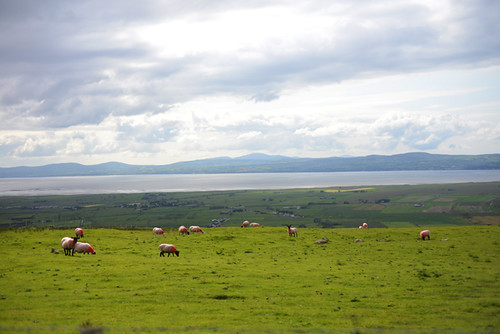 Pink Sheep, Binevenagh