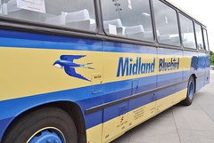 Midland Bluebird