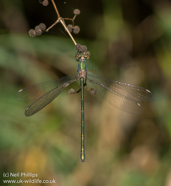 Willow emerald damselfly Lestes viridis-6