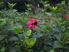datura inoxia(0.0), shrub(1.0), flower(1.0), garden(1.0), plant(1.0), flora(1.0), hibiscus(1.0),