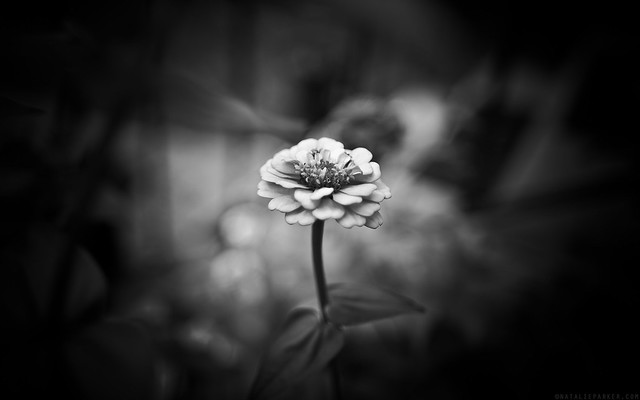 Black & White Zinnia Wallpaper