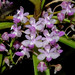 Stereochilus_roseus by orchids&more1