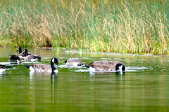 Canada Geese (Branta canadensis)- Little Seneca  Lake - Montgomery County Maryland