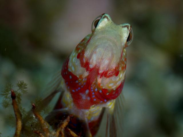 Gorgeous prawn goby クビアカハゼ