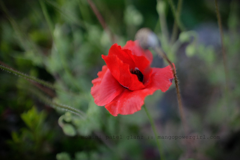 the last red poppy