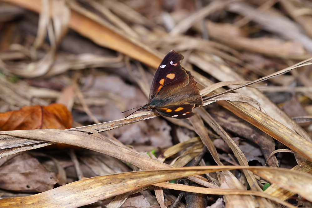 喙蝶屬東方喙蝶-2
