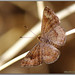 Wright's Metalmark - Photo (c) Alison Sheehey, all rights reserved