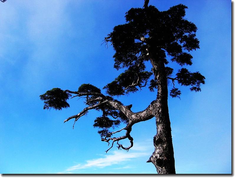 關山鐵杉 1