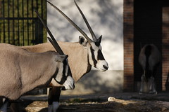 wildlife(0.0), animal(1.0), antelope(1.0), zoo(1.0), gemsbok(1.0), mammal(1.0), horn(1.0), fauna(1.0), oryx(1.0),
