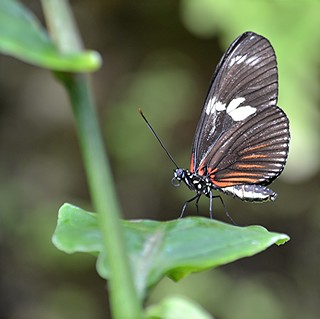 Heliconius doris primly perched on sunlit leaf