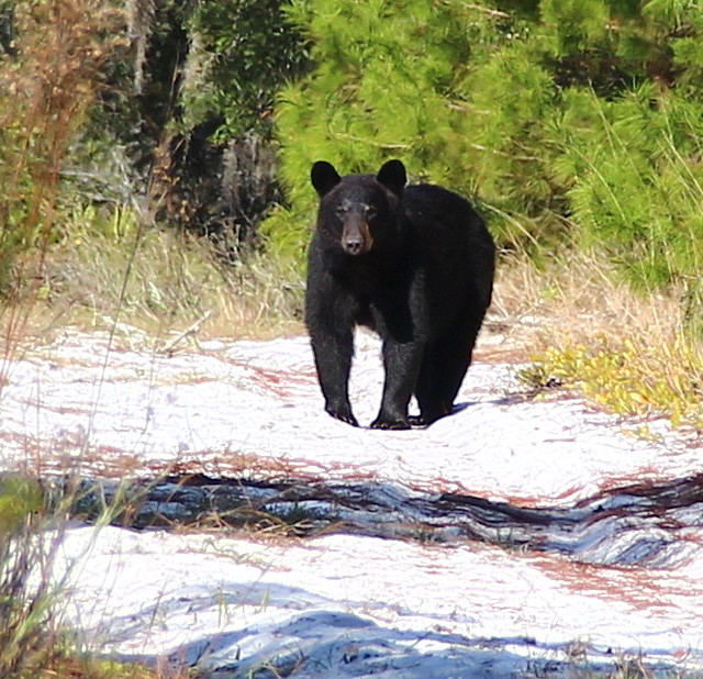 Florida Black Bear, Lower Wekiva River Preserve State Park, Florida
