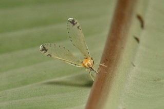 Long-winged Derbid Planthopper (Derbidae)