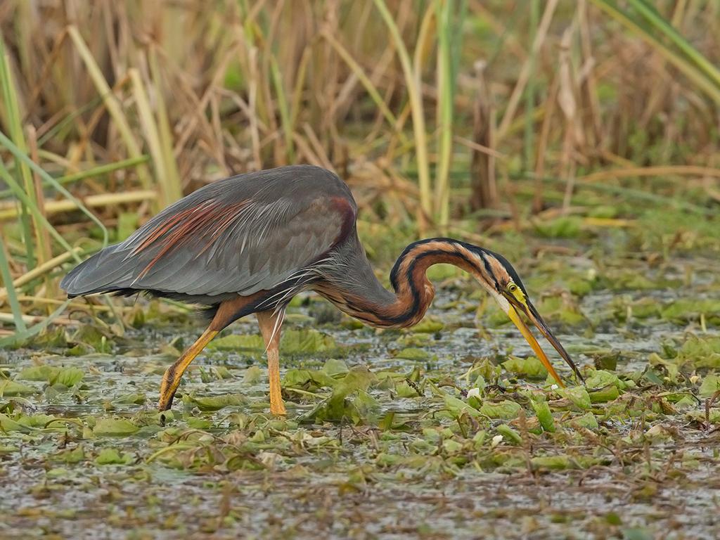 Purple Heron Sri Lanka 2013-11-29