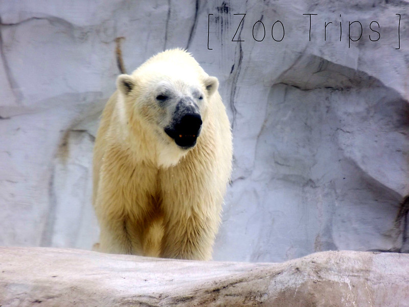 Polar Bear Detroit Zoo