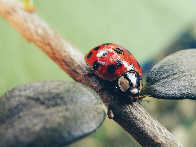 ladybug, bug, macro, red