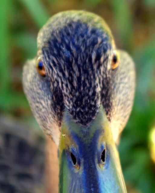 Female Mallard Stare Down Very Close