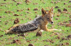 dhole(0.0), coyote(0.0), animal(1.0), red wolf(1.0), mammal(1.0), jackal(1.0), grey fox(1.0), fauna(1.0), kit fox(1.0), wildlife(1.0),