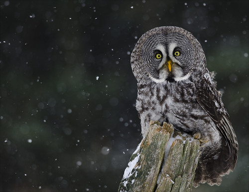 Great Grey Owl 1