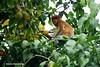 Bekantan - Wild Indonesia 68
