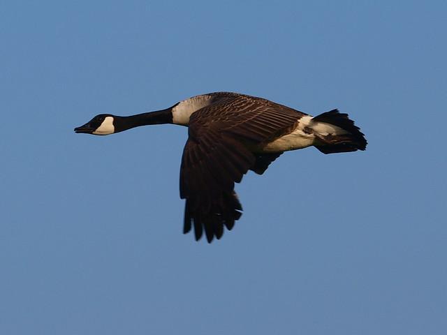 Free as a goose