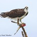 Osprey (Pandion haliaetus) with sushi and attitude by Paul Hueber