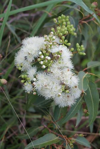 IMG 7501 Gum Tree Flowers