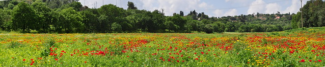 Field of poppies panorama