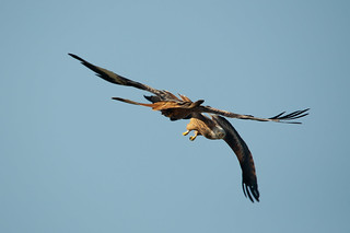 Red Kite fight
