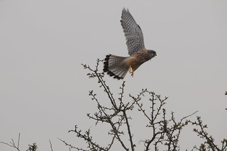 kestrel taking off