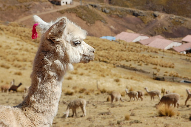 Llama in Huancavelica