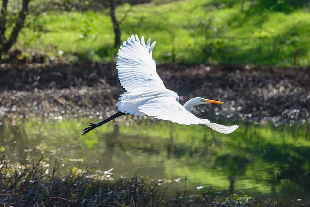 San Francisco Great White Egret