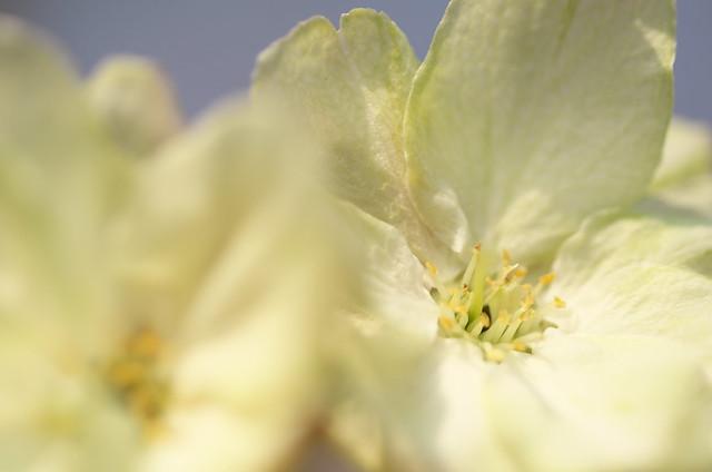 春の谷中フォトウォーク 鬱金桜 2014年4月10日