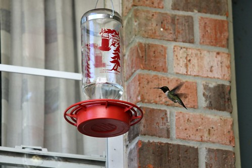 CrabAppleLane Ruby-Throated Hummingbird - April 10, 2014