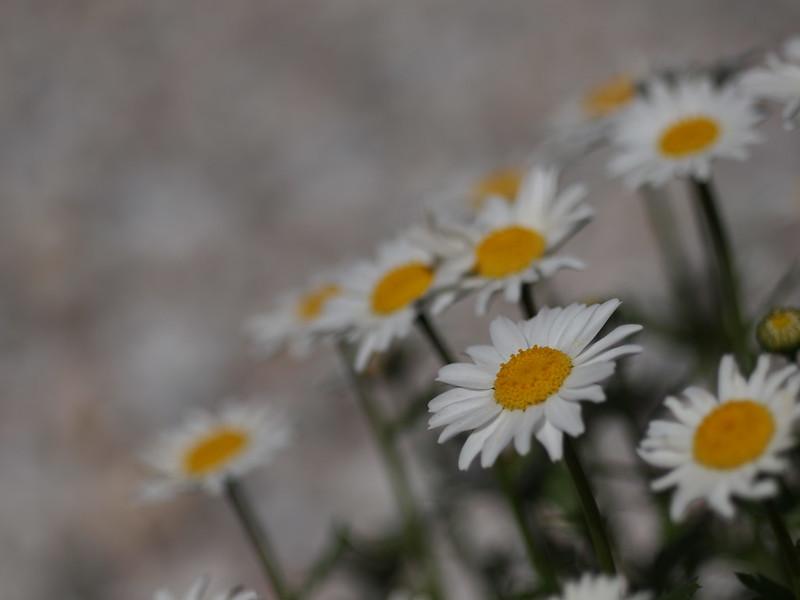Daisy, ヒナギク