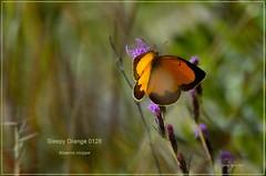 Sleepy Orange Texas butterfly photography by Ron Birrell,  DSC_0128