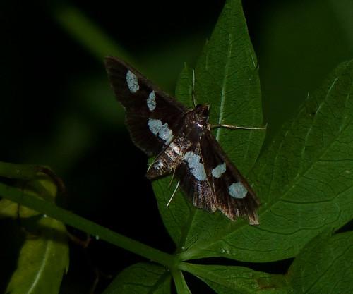 insect newjersey spring moth nj lepidoptera pyraustinae highlandpark arthropoda invertebrate arthropod insecta hexapoda middlesexcounty crambidae spilomelini desmia pyraloidea desmiafuneralismaculalis highlandparkmeadows grapeleaffolderleafroller