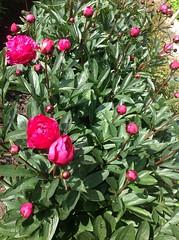camellia sasanqua(0.0), camellia japonica(0.0), theaceae(0.0), shrub(1.0), flower(1.0), plant(1.0), flora(1.0), peony(1.0),