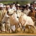 Bull Race by Zagham Awan