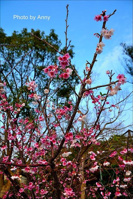 麗池櫻花46