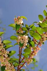 Vaccinium ovatum - evergreen huckleberry