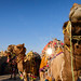 Camels by oeyvind