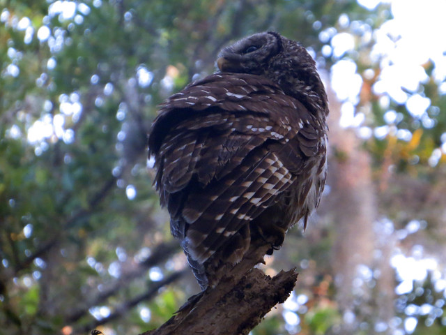 Barred Owl juv