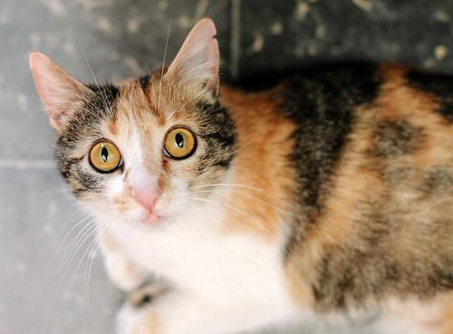 Jaspe, maravillosa tricolor de ojos cobrizos esterilizada nacida en Abril´11, necesita adopción. Valencia. ADOPTADA.  9142806704_0e3deef5e8