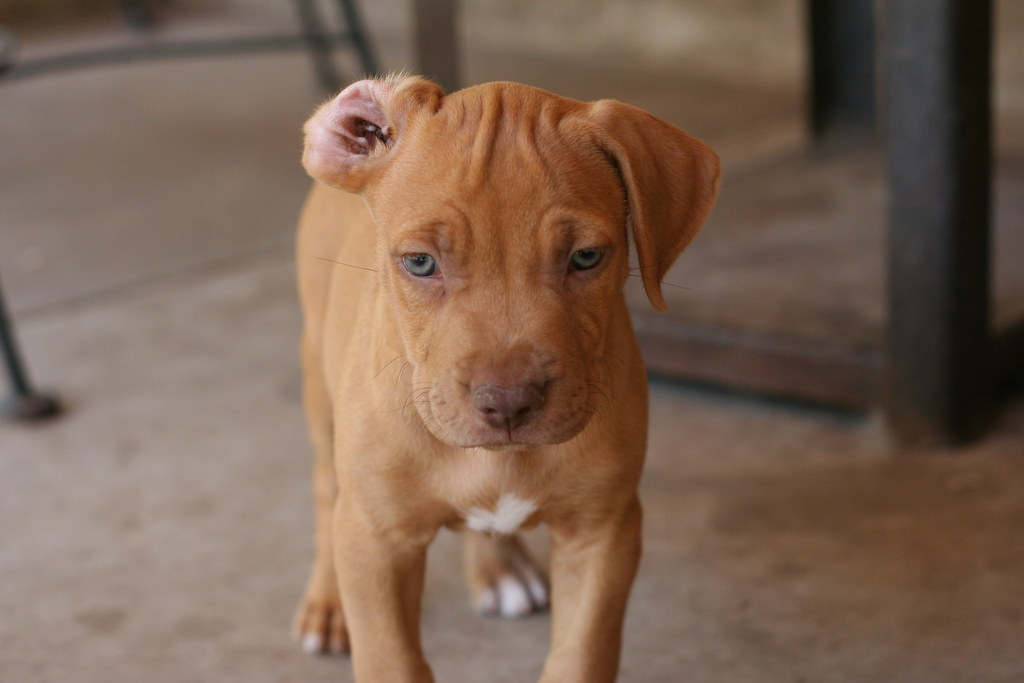 Red Noseblue Nose Pitbull Puppy Too Cool Texbeck Flickr