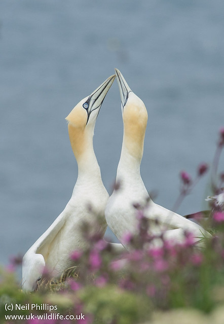 Courting gannets 2