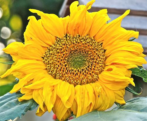 A Sunflower on a Sunny Sunday ....(188/365) by Irene_A_