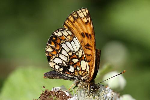 Heath Fritillary  Melitaea athalia