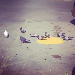 Gather near, my little feathered ones. #pigeon #dove #bird #birds #feeding #feedingtime #parking #lot #parkinglot #bistrob