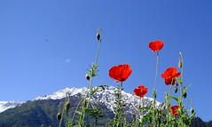 Poppies : Sangla Valley, Himachal Pradesh, India. [ Explored at # 490 on 6.8.13]