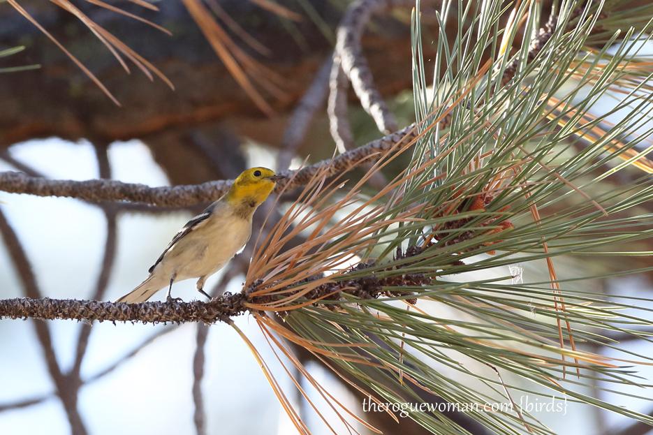 081813_bird_warblerA02